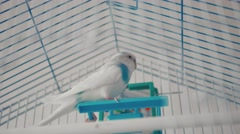 The male budgerigar playing with a bell on the cage Stock Footage