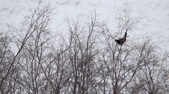 Caucasian grouse in winter. Stock Footage