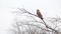Short-eared Owl. Winter. Stock Footage