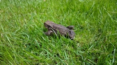 Common toad in the grass Stock Footage