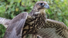 Young Peregrine falcon. Falco peregrinus. Bird of prey Stock Footage