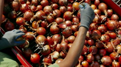 Harvest Onions in a Field Stock Footage