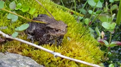 A Common toad on moss next to a pond Stock Footage