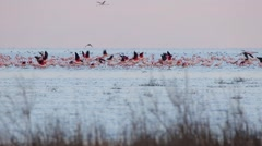 Greater Flamingos on the sea. Stock Footage