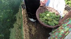 Grape Harvest Time Stock Footage