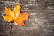 Autumn maple leaf. Stock Photos