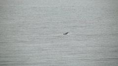 Dolphin jumps swim tropical storm julia rain Stock Footage