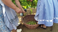 Freshly Harvested White Grapes In A Wicker Basket Stock Footage