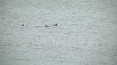 Large pod dolphins swim splash Stock Footage