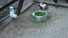 Cute playful guinea pigs play on sand in zoo cage Stock Footage