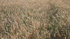 Wind blowing through wheat crop spreading seeds Stock Footage