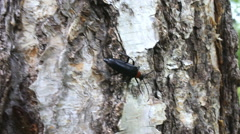 Brightly colored Longhorn beetle (Leptura) on bark of birch Stock Footage
