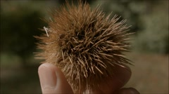 Spikey seed or fruit held fingers Stock Footage