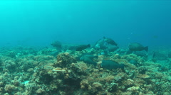 Coral reef with a school of Bumphead Parrotfishes. 4k Stock Footage