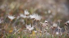 Arctic plants. Svalbard, Spitzbergen Stock Footage