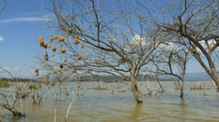 Wide view of weaver bird nests at lake baringo, kenya Stock Footage