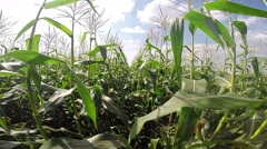 Ripe Green Corn Field Stock Footage