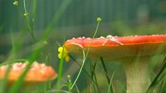 Close up shot amanita mushrooms in green grass, legs walking on background Stock Footage