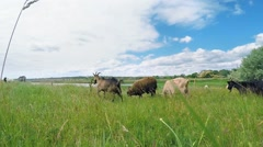 Herd of goats and sheep in the pasture near the lake. Stock Footage