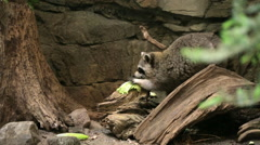 Racoon eating lettuce Stock Footage