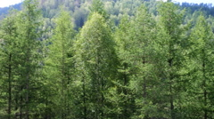 Covered with mixed forests of the Altai mountains. Stock Footage