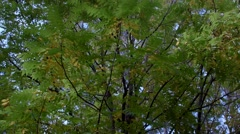 An Autumn tree in a park with the camera POV tilting down from top to bottom. Stock Footage