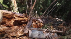 Fallen pine trees trunk and logs in the woods, deforestation Stock Footage