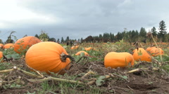 Pumpkin Patch Ready For The Picking Stock Footage