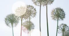 White Allium circular globe shaped flowers blow in the wind Stock Photos