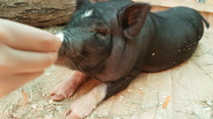 Feeding and communicates with black dwarf pig Stock Footage