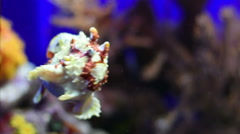 A Frog fish swimming in Acquario of Genoa Stock Footage