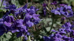 Purple verbena flowers on a ground in a garden (close up) Stock Footage