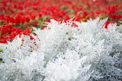 Cineraria maritima silver dust and red flowers. Soft Focus Dusty Miller Plant Stock Photos