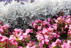 Cineraria maritima silver dust and pink flowers. Soft Focus Dusty Miller Plant Stock Photos