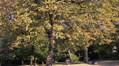 Big tall tree chestnut in the autumn park Stock Footage