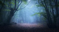 Mystical autumn forest in fog in the morning. Old Tree Stock Photos