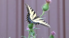 Tiger Swallowtail pollinating a purple thistle plant. Stock Footage