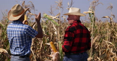 Farmers Working in Cornfield Plantation Talking About Corn Cobs Ripeness Stages Stock Footage
