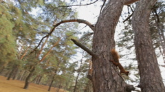 Squirrel on a pine hiding from me Stock Footage