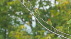 Green Bee-eater bird resting on tree branch Stock Footage