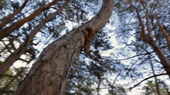 Curious squirrel climbing on a pine looking at me Stock Footage