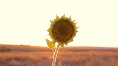 Sunflower in the desert Stock Footage