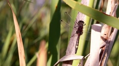 Close-up shot of Large white-faced darter (Leucorrhinia pectoralis) dragonfly on Stock Footage