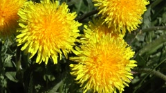 Bright yellow dandelion flowers, close-up. Stock Footage