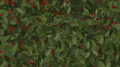4k Red winter berries cherry fruit on holly vegetation plant growing. Stock Footage
