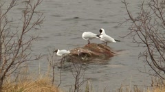 Three small black-headed gulls sitting on a rock. Stock Footage