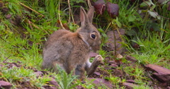 Sitting Wild Rabbit grooms and licks his hind paw 2K 150FPS Stock Footage