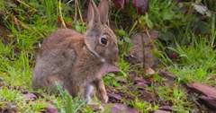 Sitting Wild Rabbit punches the air and grooms himself 2K 150FPS Stock Footage