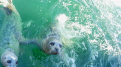 4K Hand Feeding Wild Harbor Seals, Friendly, Marine Mammals in Turquoise Water Stock Footage