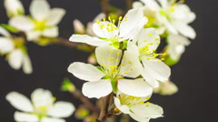 Almond flower blossoming timelapse Stock Footage